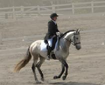 Labyrinth Fuego Andalusian Gelding For Sale